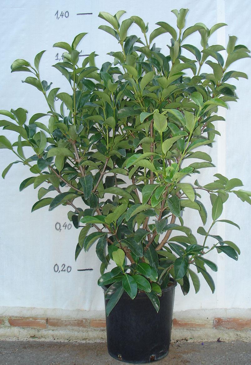 Βιβούρνο lucidum - viburnum lucidum